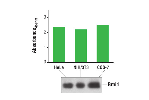 Figure 1. Detection of Bmi1 protein in HeLa, NIH/3T3, and COS-7 cells is examined by using the PathScan<sup>®</sup> Total Bmi1 Sandwich ELISA Kit. The absorbance readings at 450 nm are shown in the top figure, while the corresponding Western blot using Bmi1 (D42B3) Rabbit mAb #5856 is shown in the bottom figure.