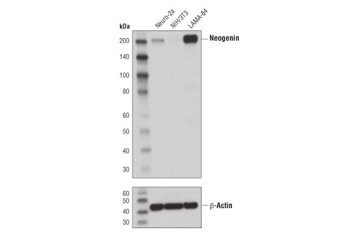 Monoclonal Antibody - Neogenin (D7M8E) Rabbit mAb - Immunoprecipitation, Western Blotting, UniProt ID Q92859, Entrez ID 4756 #39447 - Primary Antibodies