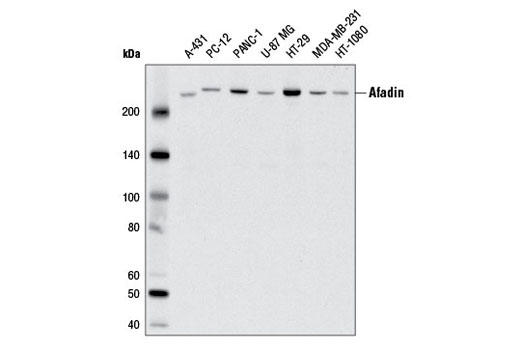 Western Blotting Image 6 - Tight Junction Antibody Sampler Kit
