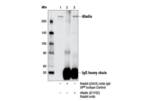Immunoprecipitation of afadin from A-431 cell extracts using Rabbit (DA1E) mAb IgG XP<sup>®</sup> Isotype Control #3900 (lane 2) or Afadin (D1Y3Z) Rabbit mAb (lane 3). Lane 1 is 10% input. Western blot was performed using Afadin (D1Y3Z) Rabbit mAb.