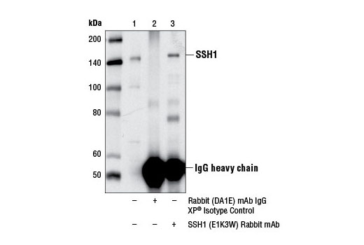 Immunoprecipitation of SSH1 from Jurkat cell extracts. Lane is 10% input, lane 2 is Rabbit (DA1E) mAb IgG XP<sup>®</sup> Isotype Control #3900, and lane 3 is SSH1 (E1K3W) Rabbit mAb. Western blot analysis was performed using SSH1 (E1K3W) Rabbit mAb.