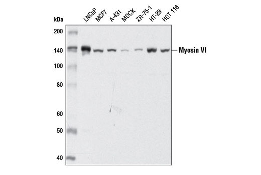 Western blot analysis of extracts from various cell lines using Myosin VI (D5Y5A) Rabbit mAb.