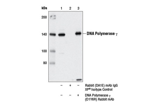 Immunoprecipitation of DNA polymerase γ from 293T cell extracts using Rabbit (DA1E) mAb IgG XP<sup>®</sup> Isotype Control #3900 (lane 2) or DNA Polymerase γ (D1Y6R) Rabbit mAb (lane 3). Lane 1 is 10% input. Western blot was performed using DNA Polymerase γ (D1Y6R) Rabbit mAb.