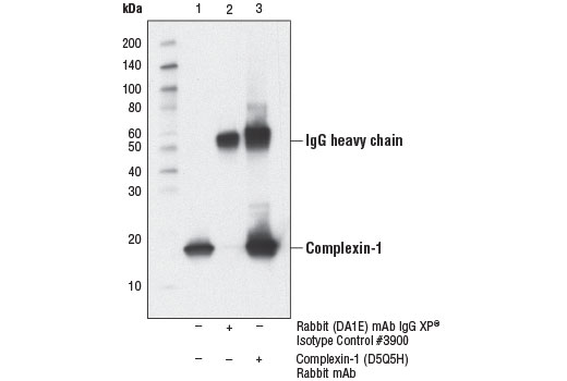 Immunoprecipitation of Complexin-1 from Neuro-2a cell extracts. Lane 1 is 10% input, lane 2 is Rabbit (DA1E) mAb IgG XP<sup>®</sup> Isotype Control #3900 and lane 3 is Complexin-1 (D5Q5H) Rabbit mAb. Western blot was performed using Complexin-1 (D5Q5H) Rabbit mAb.