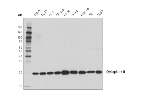 Western blot analysis of extracts from various cell lines using Cyclophilin B (D1V5J) Rabbit mAb.