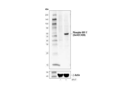 Western blot analysis of extracts from Raw 264.7 cells, untreated (-) or transfected with poly(deoxyadenylic-deoxythymidylic) acid (dA:dT, 5 μg/ml, overnight; +), using Phospho-IRF-7 (Ser437/438) (D6M2I) Rabbit mAb (Mouse Specific) (upper) and β-Actin (D6A8) Rabbit mAb #8457 (lower).