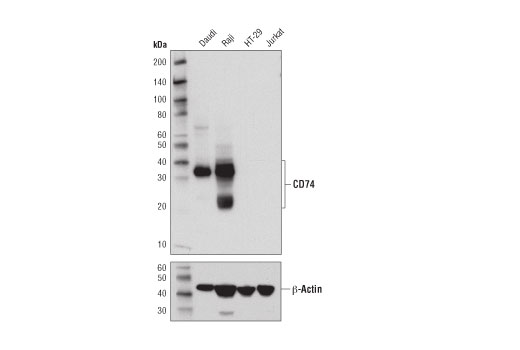 Western blot analysis of extracts from various cell lines using CD74 (D5N3I) XP<sup>®</sup> Rabbit mAb (upper) or β-Actin (D6A8) Rabbit mAb #8457 (lower).