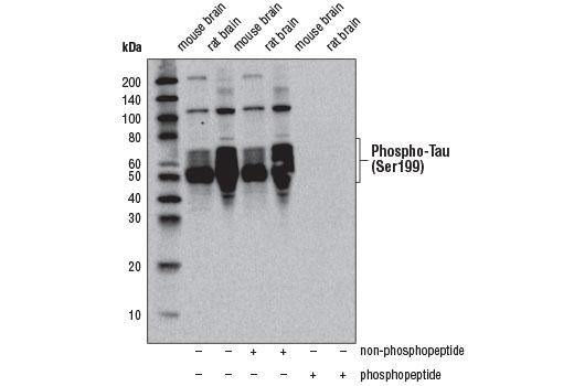 Polyclonal Antibody - Phospho-Tau (Ser199) Antibody - Western Blotting, UniProt ID P10636-8, Entrez ID 4137 #29957, Neuroscience