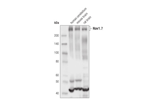 Monoclonal Antibody Western Blotting Sodium Ion Binding