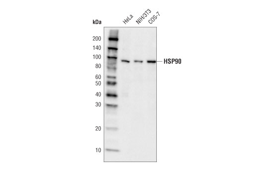 Western blot analysis of extracts from HeLa, NIH/3T3, and COS-7 cells using HSP90 (C45G5) Rabbit mAb (HRP Conjugate).