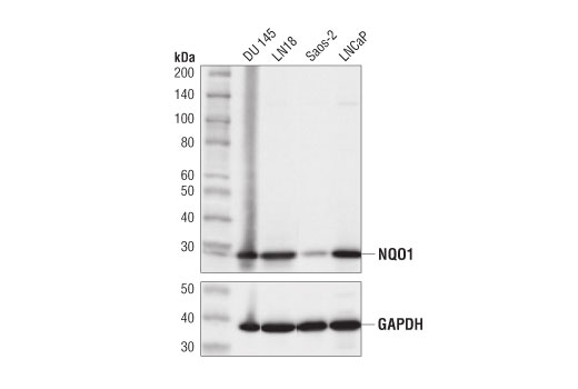 Western blot analysis of extracts from various cell lines using NQO1 (D6H3A) Rabbit mAb (upper) and GAPDH (D16H11) XP<sup>®</sup> Rabbit mAb #5174 (lower).