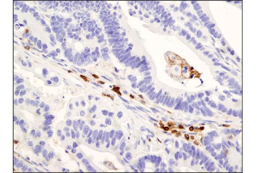Monoclonal Antibody Immunohistochemistry Paraffin Stem Cell Development