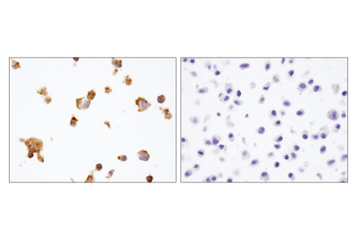 Immunohistochemical analysis of paraffin-embedded HUVEC (left) and HeLa (right) cell pellets using eNOS (D8A6N) Rabbit mAb.