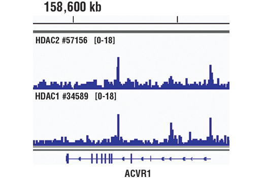 Chromatin immunoprecipitations were performed with cross-linked chromatin from K-562 cells and either HDAC2 (D6S5P) Rabbit mAb or HDAC1 (D5C6U) XP<sup>®</sup> Rabbit mAb #34589, using SimpleChIP<sup>®</sup> Plus Enzymatic Chromatin IP Kit (Magnetic Beads) #9005. DNA Libraries were prepared using SimpleChIP<sup>®</sup> ChIP-seq DNA Library Prep Kit for Illumina<sup>®</sup> #56795. HDAC2 and HDAC1 are known to have similar binding pattern on chromatin. The figure shows binding of both HDAC2 and HDAC1 across ACVR1 gene. For additional ChIP-seq tracks, please download the product data sheet.