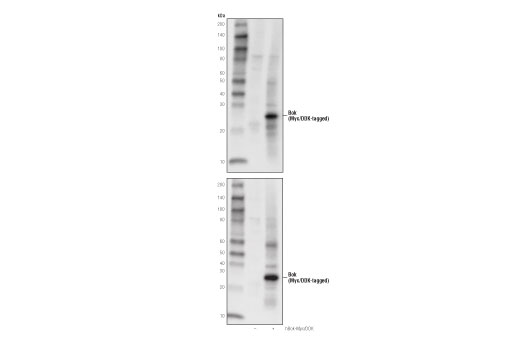 Western blot analysis of extracts from 293T cells, mock transfected (-) or transfected with a construct expressing Myc/DDK-tagged full-length human Bok (hBok-Myc/DDK; +) using Bok (D7V2N) Rabbit mAb (upper) or Myc-Tag (71D10) Rabbit mAb #2278 (lower).