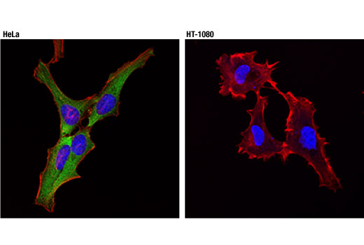Confocal immunofluorescent analysis of HeLa (left) and HT-1080 (right) cells using HSP27 (D6W5V) Rabbit mAb (green). Actin filaments were labeled with DyLight™ 554 Phalloidin #13054 (red). Blue pseudocolor = DRAQ5<sup>®</sup> #4084 (fluorescent DNA dye).