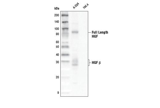 Monoclonal Antibody Western Blotting HGF Beta Subunit