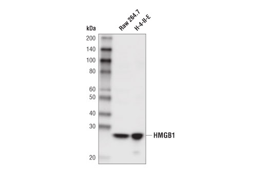 Western blot analysis of extracts from Raw 264.7 and H-4-II-E cell lines using HMGB1 (D3E5) Rabbit mAb (Biotinylated).