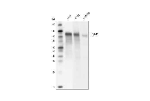 Western blot analysis of extracts from LoVo, HT-29 and mIMCD-3 cell lines using EphA1 (D6V7I) Rabbit mAb.