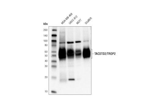 Monoclonal Antibody - TACSTD2/TROP2 (D1W5W) Rabbit mAb - Immunoprecipitation, Western Blotting, UniProt ID P09758, Entrez ID 4070 #90540 - Adhesion/Ecm