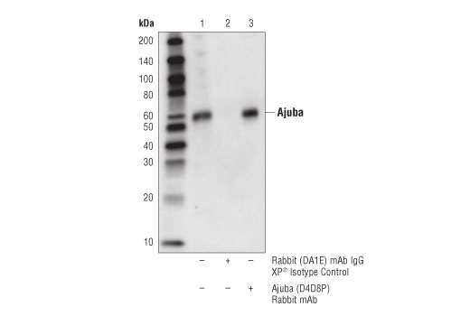 Immunoprecipitation of Ajuba protein from PANC-1 cell extracts. Lane 1 is 10% input, lane 2 is Rabbit (DA1E) mAb XP® Isotype Control #3900, and lane 3 is Ajuba (D4D8P) Rabbit mAb. Western blot analysis was performed using Ajuba (D4D8P) Rabbit mAb.
