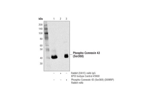 Immunoprecipitation Image 1: Phospho-Connexin 43 (Ser368) (D6W8P) Rabbit mAb