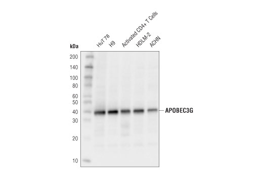 Monoclonal Antibody Deoxycytidine Deaminase Activity