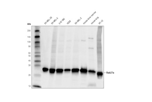Western blot analysis of extracts from various cell lines using Rab27A (D7Z9Q) Rabbit mAb.