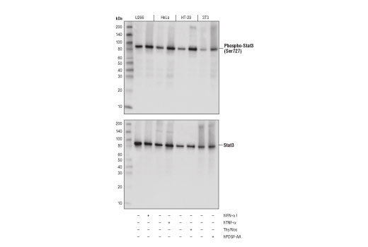 Western blot analysis of extracts from serum-starved U266 cells, untreated (-) or treated with Human Interferon-α1 #8927 (hIFN-α1; 50ng/ml, 15 min; +), Hela cells, untreated (-) or treated with Human Tumor Necrosis Factor-α #8902 (hTNF-α; 20ng/ml, 30 min; +), HT-29 cells growing asynchronously (-) or arrested in mitosis by treatment with Thymidine (2mM, 17 hours) followed by Nocodazole #2190 (100ng/ml, 24 hrs; +), and NIH/3T3 cells, untreated (-) or treated with Human Platelet Derived Growth Factor-AA #8913 (hPDGF-AA; 50ng/ml, 30min; +) using Phospho-Stat3 (Ser727) (D8C2Z) Rabbit mAb (upper) or total Stat3 (124H6) Mouse mAb #9139 (lower).