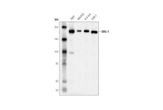 Western blot analysis of extracts from various cell lines using SRC-1 (D1M3Y) Rabbit mAb.