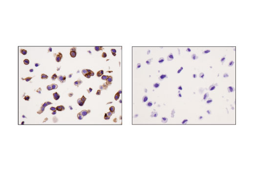Immunohistochemical analysis of paraffin-embedded MCF7 (left) and U-118MG (right) cell pellets using CELSR2 (D2M9H) XP<sup>®</sup> Rabbit mAb.