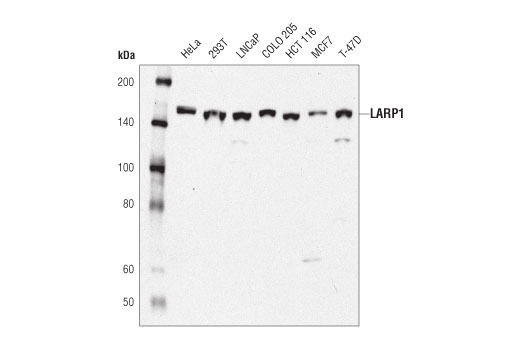 Western blot analysis of extracts from various cell lines using LARP1 (D8J4F) Rabbit mAb.