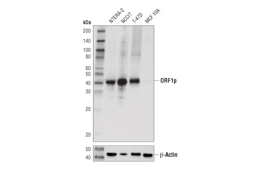 Monoclonal Antibody - ORF1p (D3W9O) Rabbit mAb - Western Blotting, UniProt ID Q9UN81, Entrez ID 4029 #88701, L1re1