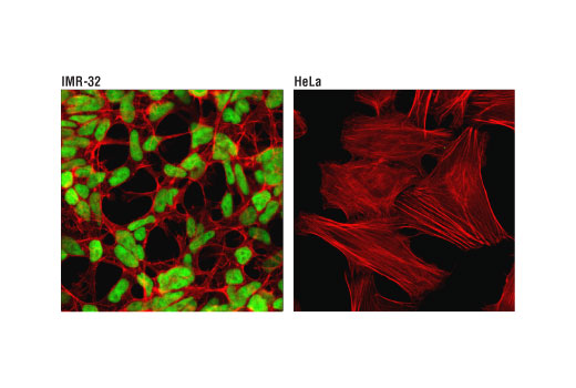 Confocal immunofluorescent analysis of IMR-32 (positive, left) and HeLa (negative, right) cells using N-Myc (D1V2A) Rabbit mAb (green). Actin filaments have been labeled with DyLight™ 554 Phalloidin #13054 (red).