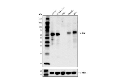 Western blot analysis of extracts from various cell lines using N-Myc (D1V2A) Rabbit mAb (upper) or β-Actin (D6A8) Rabbit mAb #8457 (lower).
