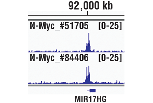 Chromatin immunoprecipitations were performed with cross-linked chromatin from IMR-32 cells and either N-Myc (D4B2Y) Rabbit mAb #51705 or N-Myc (D1V2A) Rabbit mAb, using SimpleChIP<sup>®</sup> Plus Enzymatic Chromatin IP Kit (Magnetic Beads) #9005. DNA Libraries were prepared using SimpleChIP<sup>®</sup> ChIP-seq DNA Library Prep Kit for Illumina<sup>®</sup> #56795. The figure shows binding across MIR17HG, a known target gene of N-Myc (see additional figure containing ChIP-qPCR data). For additional ChIP-seq tracks, please download the product data sheet.