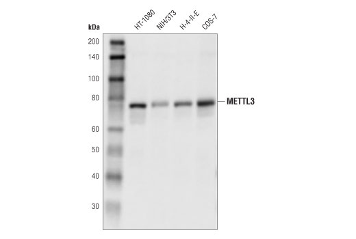 Monkey Mrna 2'-o-methyladenosine-n6--methyltransferase Activity