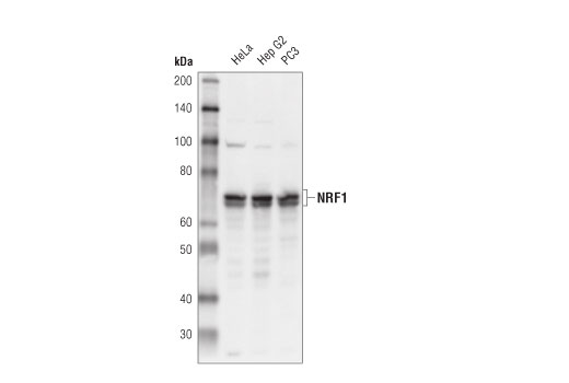 Western blot analysis of extracts from HeLa, HepG2 and PC3 cell lysates using NRF1 (D9K7R) Rabbit mAb.