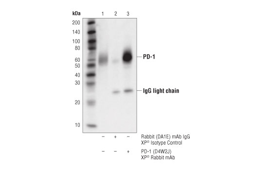 Immunoprecipitation of PD-1 protein from Molt-4 cell extracts. Lane 1 is 10% input, lane 2 is Rabbit (DA1E) mAb IgG XP<sup>® </sup>Isotype Control #3900, and lane 3 is PD-1 (D4W2J) XP<sup>®</sup> Rabbit mAb. Western blot analysis was performed using PD-1</p><p>(D4W2J) XP<sup>®</sup> Rabbit mAb.