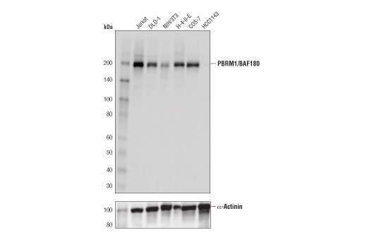 Western blot analysis of extracts from various cell lines using PBRM/BAF180 (D3F7O) Rabbit mAb (upper) or α-Actinin (D6F6) XP<sup>®</sup> mAb #6487 (lower).