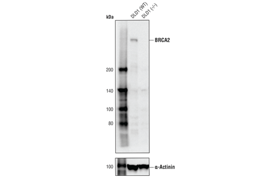 Western blot analysis of DLD1 cells, either wild type (WT) or BRCA2 knockout (-/-), using BRCA2 (D9S6V) Rabbit mAb (upper) or α-Actinin (D6F6) XP<sup>®</sup> Rabbit mAb (lower). DLD1 (WT) and DLD1 (-/-) cells were kindly provided by Dr. Judit Jimenez, Yale University, New Haven, CT.