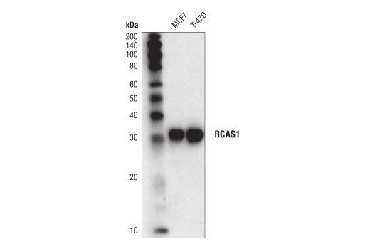 Monoclonal Antibody - RCAS1 (D8K2E) Mouse mAb, UniProt ID O00559, Entrez ID 9166 #67856