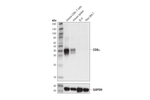 Western blot analysis of extracts from mouse CD8<sup>+</sup> T cells, mouse spleen, EL4 cells, and Raw264.7 cells using CD8α (D4W2Z) XP<sup>®</sup> Rabbit mAb (Mouse Specific) (upper), and β-Actin (D6A8) Rabbit mAb #8457 (lower).