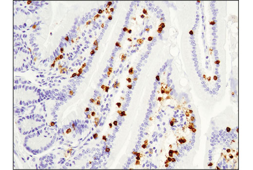 Immunohistochemical analysis of paraffin-embedded mouse small intestine using CD8α (D4W2Z) XP<sup>® </sup>Rabbit mAb (Mouse Specific).