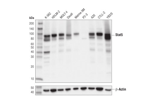 Western blot analysis of extracts from various cell lines using Stat5 (D2O6Y) Rabbit mAb (upper) and β-Actin (D6A8) Rabbit mAb #8457 (lower).