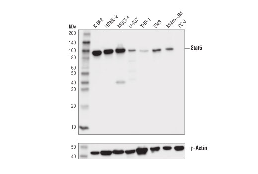 Western blot analysis of extracts from various cell lines using Stat5 (D3N2B) Rabbit mAb (upper) and β-Actin (D6A8) Rabbit mAb #8457 (lower).
