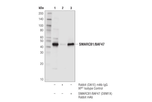Immunoprecipitation of SMARCB1/BAF47 from 293T cell extracts. Lane 1 is 10% input, lane 2 is Rabbit (DA1E) mAb XP<sup>®</sup> Isotype Control #3900, and lane 3 is SMARCB1/BAF47 (D8M1X) Rabbit mAb. Western blot analysis was performed using</p><p>SMARCB1/BAF47 (D8M1X) Rabbit mAb.