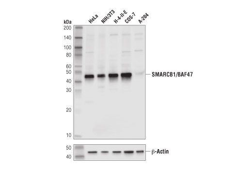 Monoclonal Antibody Chromatin Ip-Seq Tat Protein Binding