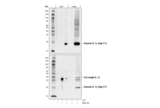 Western blot analysis of cell extracts and media from mouse bone marrow derived macrophages (mBMDM), untreated (-) or treated with Lipopolysaccharides #14011 (LPS; 50ng/ml, 4hr) followed by nigericin (15μM, 45min) (+) using Cleaved-IL-1β (Asp117) Antibody (Mouse Specific) (upper), or total IL-1β (D3H1Z) Rabbit mAb (Mouse Specific) #12507 (lower).