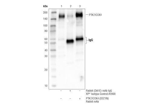 Immunoprecipitation of PTK7/CCK4 protein from A204 cell extracts. Lane 1 is 10% input, lane 2 is Rabbit (DA1E) mAb IgG XP<sup>®</sup> Isotype Control #3900, and lane 3 is PTK7/CCK4 (D2Z1N) Rabbit mAb. Western blot analysis was performed using</p><p>PTK7/CCK4 (D2Z1N) Rabbit mAb.